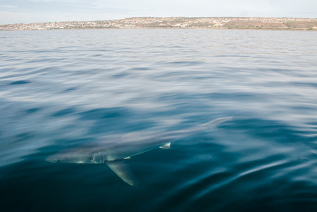 shark bay: A great white shark underwater in Mossel Bay, South Africa Stock Photo