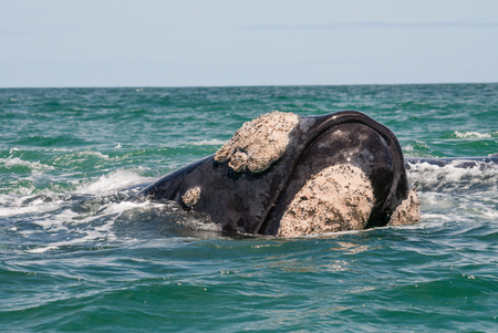 barnacles: Head of a southern right whale Eubalaena australis, Gansbaai, South Africa