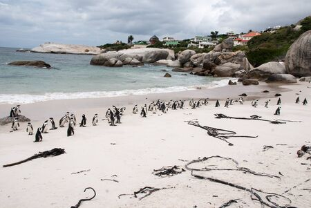 penguin colony: African Penguin colony on Boulders Beach, False Bay, South Africa