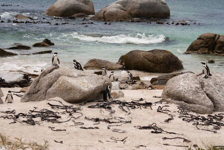 penguin colony: The African Penguin colony in False Bay, South Africa Stock Photo