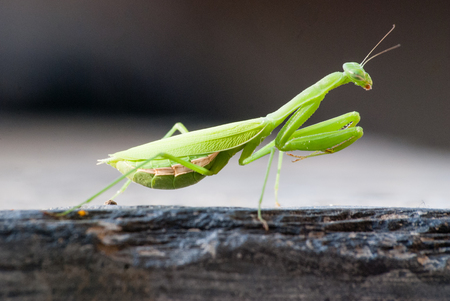 cannibal: Close up of a praying mantis in South Africa