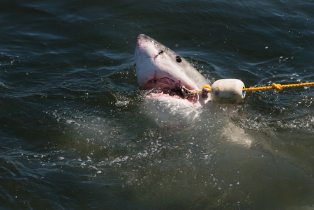 great danger: A great white shark catches the bait rope at a shark cage diving boat in South Africa Stock Photo
