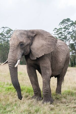 savana: An African elephant at a game reserve in South Africa