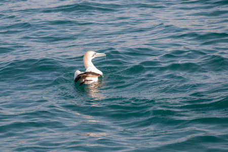 A cape gannet swimming in the ocean in Mossel Bay, South Africa