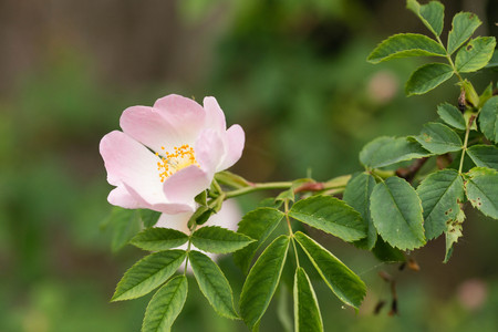 Rosa canina, commonly known as the dog-rose on a bush in woodland, UK