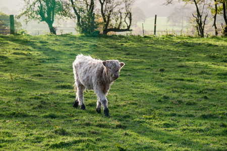 pastureland: A young highland cow walking through lush green grass