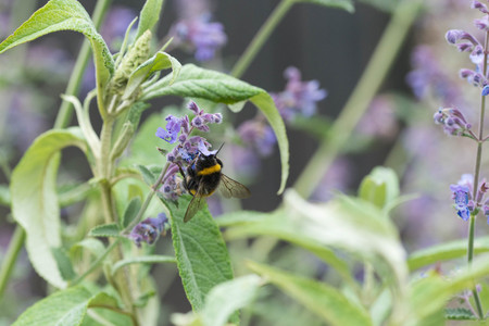A white tailed bumble bee on a catmint flower in a garden in the UK