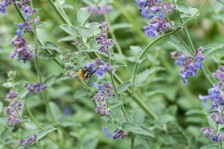 A carder bee on a purple catmint flower in a garden in the UK