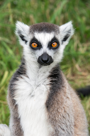 gray: Close up of a ring tailed lemur