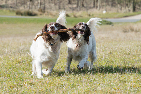 Playful springer spaniels carrying a stick during a walk through fields in the UK
