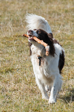 A playful springer spaniel carrying a stick