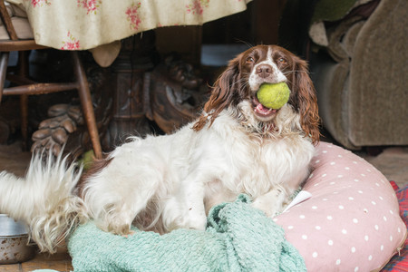 A female brown and white springer spaniel sitting on a beanbag in a kitchen in the UK