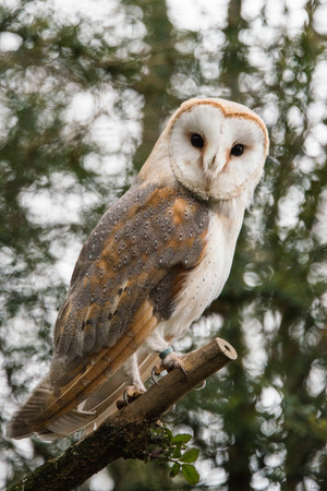 A common barn owl sitting on a branch Фото со стока