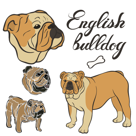 English Bulldog breed vector illustration set isolated. Doggy image in minimal style flat icon. Simple emblem design for pet shop, zoo ads, label design animal food package element. Realistic dog sign
