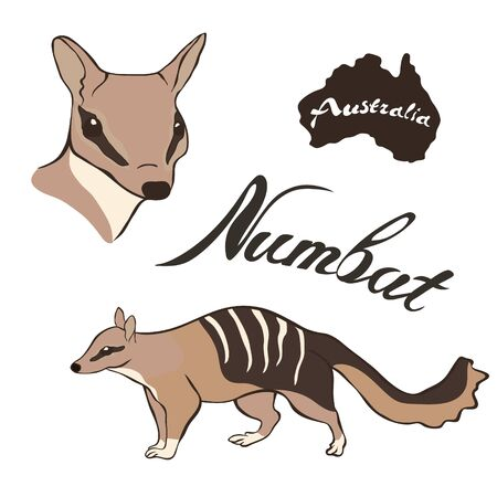 Numbat vector image isolated on white background. Noombat in full growth and head. Fauna Australia. Realistic walpurti design. Numbat - Emblem of Western Australia.