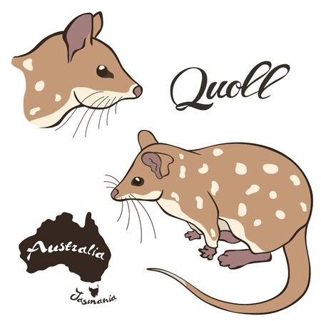 Quoll vector image isolated on white background. Quoll in full growth and profile head. Fauna Australia. Realistic eastern dasyure design. Marsupial marten.