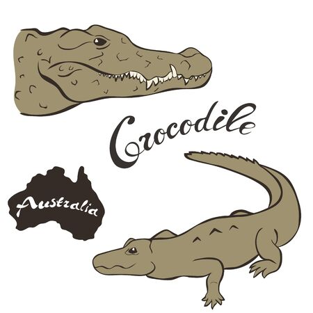 Australian freshwater crocodile vector image isolated on white background. Crocodile in full growth and head. Fauna Australia. Dangerous Australian predator. Illusztráció