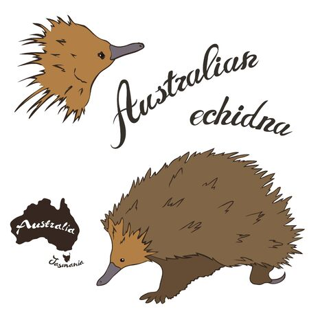 Australian echidna vector image isolated on white background. Spiny anteater in full growth Australian needle-covered animal with a long nose. Fauna Australia. Echidna realistic design.