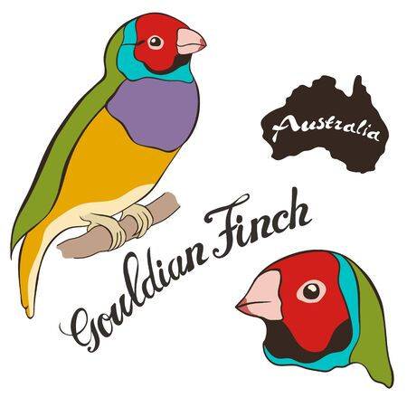 Gouldian finch vector image isolated on white background. Lady Gouldian Finch Fauna Australia. Australian tropical bird with bright coloring