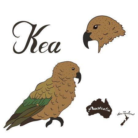 Kea bird vector image isolated on white background. Predatory parrot hunting a sheep. Fauna of New Zealand. Kea parrot head design. Ilustracja