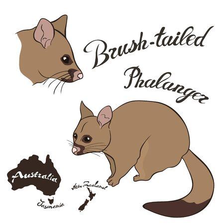 Brush-tailed phalanger vector image isolated on white. Brush-tailed possum in full growth and head. Australian common phalanger night animal. Vulpine phalanger realistic design. Fauna Australia. Stock Illustratie