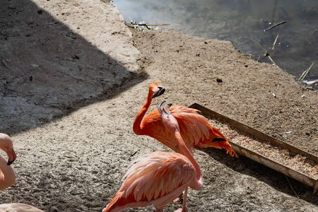 Flamingos with bright colors live in flocks near the pond. The plumage is pink and orange. Keeping individuals with long necks and powerful curved beaks in the zoo