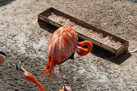 Flamingos with bright colors live in flocks near the pond. The plumage is pink and orange. Keeping individuals with long necks and powerful curved beaks in the zoo Foto de archivo