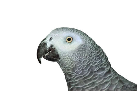 The head of African Grey Parrot (psittacus erithacus) photo