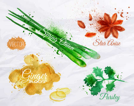 ginger root: Spices herbs set drawn watercolor blots and stains with a spray star anise, parsley, spring onion, ginger root