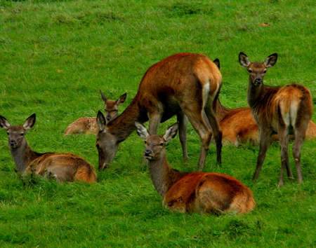 A bunch of red deer