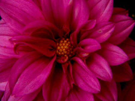 rose et belle fleur d'�t� Banque d'images