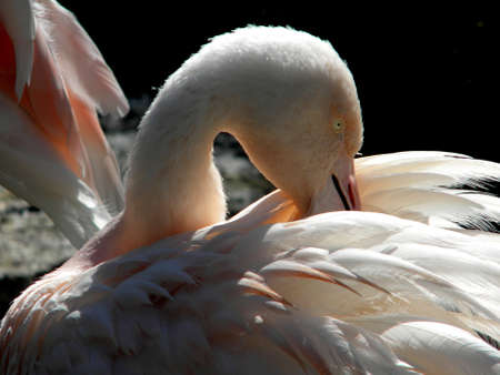 a flamingo preening its feathers