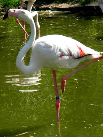 a standing flamingo in a pond