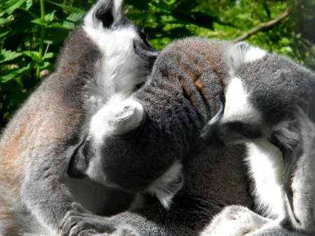 three lemurs cuddling in the sun