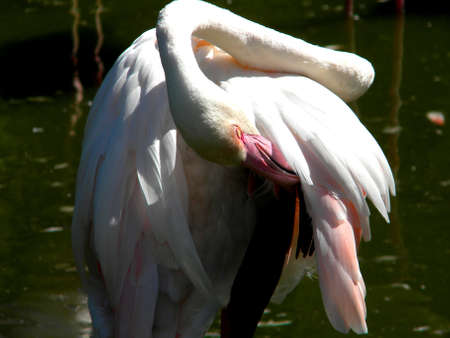 flamingo scratching under the wing Stock Photo