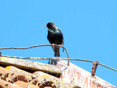 a splendid starling sits on the roof