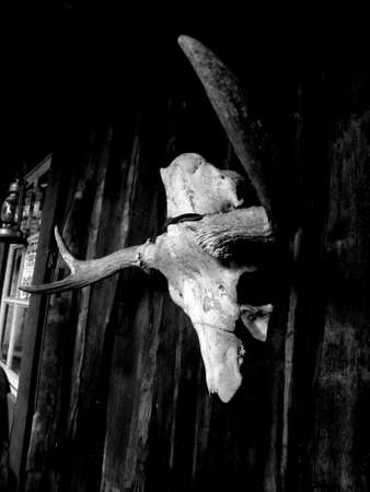old moose skull on wooden wall