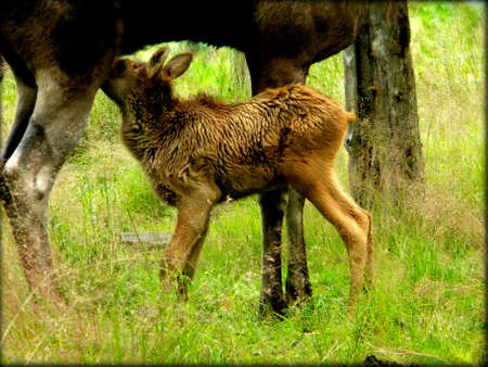 a small moose calf and his mother Stock Photo