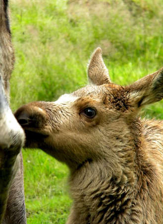 a cute little moose calf sniffs at her mother photo