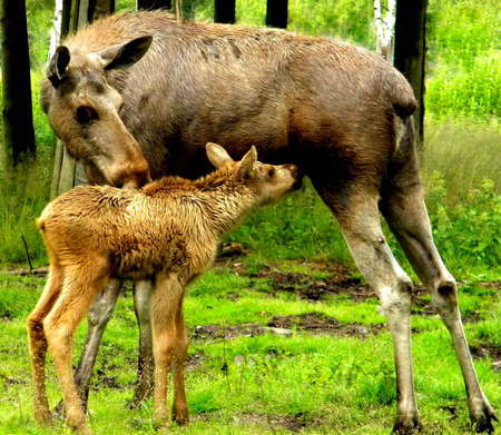 the little moose and his mother photo