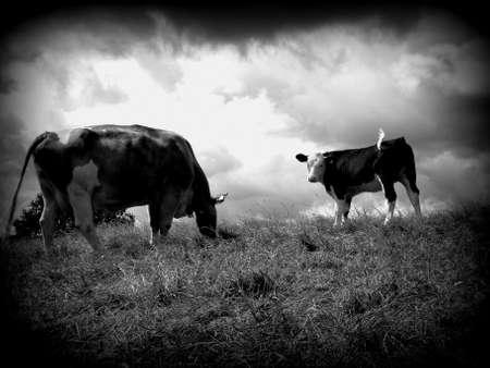 une vache et son veau de p�turage