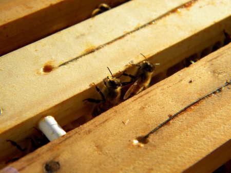 les abeilles dans les ruches
