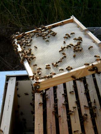 les abeilles Banque d'images