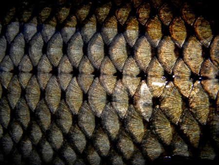 pez carpa: escamas de un pez dorado