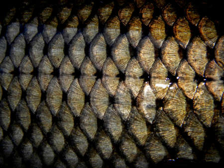 fish scales on a golden fish photo
