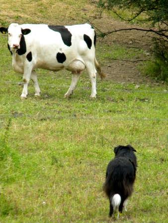 chien et la vache