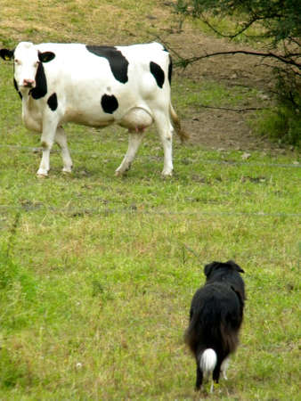 dog and cow photo