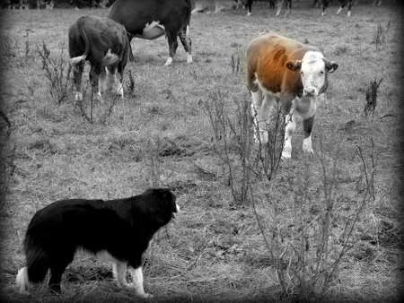 dog guards his cattle in a field Stock Photo