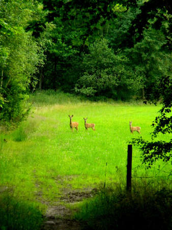three roe deers on a green feild