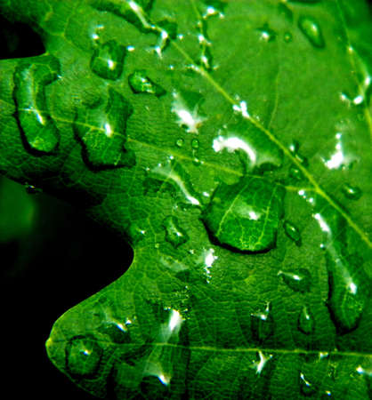 dropplets on a oakleaf